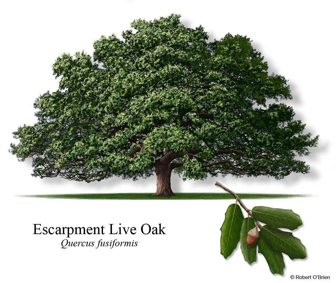 Escarpment Live Oak